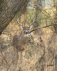 still in the neighborhood (Judecat (settling in for winter)) Tags: deer whitetaildeer nature wildlife pennsylvaniawildlife antlers buck
