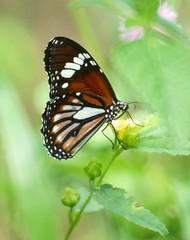 THE WHITE TIGER - DANAUS MELANIPPUS (nikolayloginov) Tags: бабочка сулавеси sulawesi butterfly indonesia индонезия