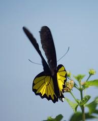 Птицекрылка Елены, Common Birdwing, Troides helena (nikolayloginov) Tags: бабочка сулавеси sulawesi butterfly indonesia индонезия