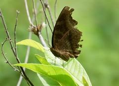??? (nikolayloginov) Tags: бабочка сулавеси sulawesi butterfly indonesia индонезия