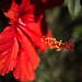 #01/100 Hibiscus rosa-sinensis