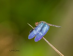 Amazon Sapphirewing (N2NATURE PHOTOGRAPHY) Tags: amazon sapphirewing male trinidad west indies