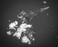 An Icy Goodbye (Joe_R) Tags: flower water fog ice lakeelkhorn columbia nature maryland unitedstates