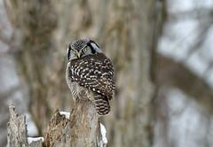 Chouette épervière (icascidos) Tags: beautiful ngc nature beau oiseauxbirdsnaturewildlifeneige hibou marais neige chouette épervière lumière light liberte