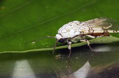 Nachtfalter-#4 (RiversideMovie&Pictures Wildlife) Tags: nachtfalter moth costarica wildlifephotograph macro