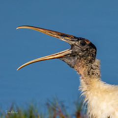 (PNWheat) Tags: waterfowel calling 10000islands florida wadingbird woodstork