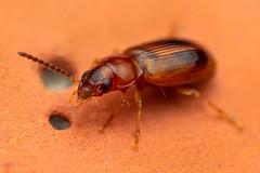 Coleoptera (J Chiavo) Tags: argentina canon6d coleoptera mpe65 macrofotografía macrophotography naturaleza nature