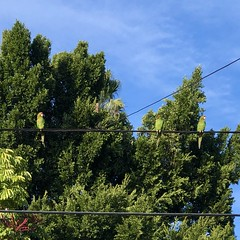 IMG_6248 (lnewman333) Tags: highlandpark losangeles nela northeastlosangeles usa ca socal southerncalifornia wildparrots parrots redcrownparrot birds