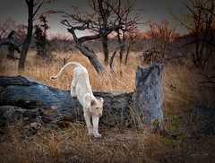 End of Day for the White Lion Cub (cheryl strahl) Tags: africa southafrica timbavatinaturereserve krugernationalpark ngala lion whitelion rare cat wild winter dry nature recessivegenes genemutation beautiful
