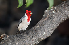 Red-Crested Cardinal (ashockenberry) Tags: wildlife wildlifephotography wild wilderness eco exotic ecosystem reserve rainforest travel tourism tree tropical habitat nature naturephotography natural native majestic mountains landscape light outdoor red crested cardinal ashleyhockenberryphotography oahu hawaii honolulu feathers vacation beautiful