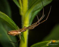 Long-Jawed Orb-Weaver Stack (strjustin) Tags: longjawedorbweaver orbweaver arachnid spider beautiful bug insect macro mpe focusstacking
