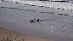 Tafedna  - die Starthelfer kehren zurück; Marokko (764) (Chironius) Tags: marokko atlantik atlantischerozean atlanticocean almamlakaalmaghribīya königreichmarokko tagelditnelmaɣrib