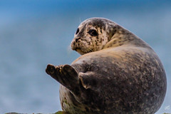 Holiday season is over, and now I am going to exercise. (jgaosb) Tags: holiday season weight seal montauk long island work out exercise ocean seashore wildlife