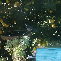 IMG_6257 (lnewman333) Tags: highlandpark losangeles nela northeastlosangeles usa ca socal southerncalifornia bird scrubjay westernscrubjay birdbath citrustree lemons lemontree sage