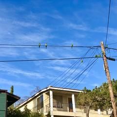 fullsizeoutput_a22f (lnewman333) Tags: highlandpark losangeles nela northeastlosangeles usa ca socal southerncalifornia wildparrots parrots redcrownparrot birds