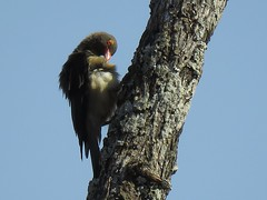 Red-billed Oxpecker  /  Rooibekrenostervoël (Pixi2011) Tags: birds krugernationalpark southafrica africa wildbirds nature