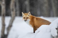 Red Fox in Snow (gouthamganeshs) Tags: fox redfox nature wild wildlife animals orange snow winter yellowstone grandteton stare fur eyes bigcat snowing