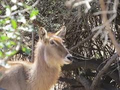 Waterbuck  /  Waterbok (Pixi2011) Tags: antelope krugernationalpark africa wildlifeafrica wildanimals animals nature southafrica