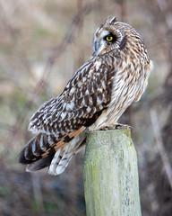 SEO Profile (TW Olympia) Tags: delta british columbia boundary bay dyke trail short eared owl