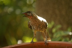 Hot Wattle Bird (nickant44) Tags: wattle bird clarendon australia summer 55250mm efs bokeh bath canon 40d