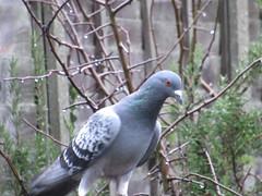 Friday, 3rd, Wet pigeon IMG_4521 (tomylees) Tags: essex morning winter january 2020 3rd friday garden bird feralpigeon raining