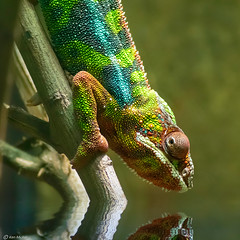A Drink of Water (Ken Mickel) Tags: animals artistic chameleon fineart flood kenmickelphotography pantherchameleon reflection reflections reptiles waterreflection nature photography photoshop water