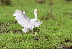 Touch down (christinaport) Tags: intermediateegret egret nsw australia bird birds wild free white swamp landing