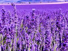 P1120982 (alainazer) Tags: valensole provence france fiori fleurs flowers fields champs colori colors couleurs lavande lavanda lavender