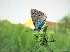 Butterfly 1918 (+1800000 views!) Tags: butterfly borboleta farfalla mariposa papillon schmetterling فراشة