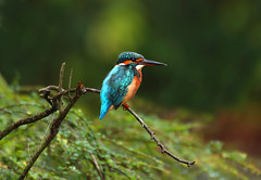 Common Kingfisher (ashockenberry) Tags: wildlife wildlifephotography wild wilderness eco exotic ecosystem reserve rainforest travel tourism tree tropical yellow habitat jungle majestic marsh natural native naturephotography nature singapore beauty ashleyhockenberryphotography common kingfisher bird beak beautiful feathers lake vacation landscape light