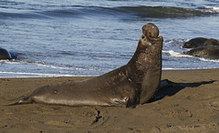 Bet You Can't Swallow Your Nose (tomblandford) Tags: northernelephantseals elephantsealbull marinemammal californiamarinelife roar vocalization massive conservation wildlifeofthewest wildlife outside nature protecttheenvironment protectpubliclands protectwildlife