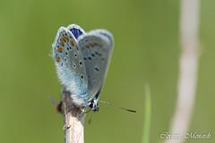 Lysandra bellargus (Corinne Ménardi) Tags: papillon azuré bleucéleste macro arthropoda hexapoda lepidoptera insectes lépidoptères pollinisateur diurne
