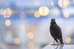 Starling with fairy lights from Christmas market (Benjamin Joseph Andrew) Tags: bird one lone single individual passerine songbird urban city town fair lights christmas