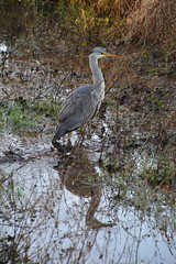 Blauwe reiger in sloot (René Mouton) Tags: wandelen hiking nederland thenetherlands holland noordholland castricum bakkum blauwereiger ardeacinerea greyheron sloot ditch water weerspiegeling reflectie reflexion bird vogel birdwatchers