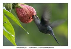 Green hermit (Jan H. Boer, Nature photographer) Tags: phaethornisguy greenhermit groeneheremietkolibrie birds hummingbirds nature wildlife flowers abutilonpictum costarica coronado nikon d500 afsnikkor200500f56e jansphotostream2019