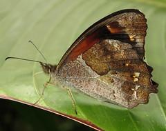 Lasiophila orbifera (hippobosca) Tags: insect lepidoptera butterfly ecuador macro satyridae satyr lasiophilaorbifera