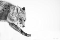 The Struggle (Khurram Khan...) Tags: redfox northslope arctic deadhorse alaska wildlife wildlifephotography wild wwwkhurramkhanphotocom khurramkhan sony bealpha monochrome highkey dramatic