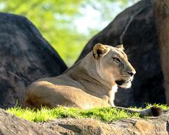 Resting in the Morning Sun (Harry Rother) Tags: animal mammal bigcat lion lioness light disney kilimanjaro safari abigfave