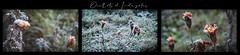 oeillets d'Inde gelés (.Sophie C.) Tags: fleur nord 59 cambrésis leshautsdefrance plante hiver gel givre flore gelée dansmonjardin multivues
