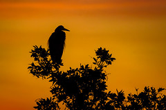 Silhouette of Great blue heron perched atop a Mangrove tree at Ten Thousand Islands National Wildlife Refuge, Naples, Florida (diana_robinson) Tags: greatblueheron ardeaherodias bird perched silhouette sunrisedawn tenthousandislandsnationalw 10000islandnationalwildlife marshtrail mangroveislands mangrovehabitat naplesflorida floridausstate environment environmentalconservation outdoors beautyinnature nopeople remotelocation mangroveforest nature nonurbanscene dramaticsky tree idyllic tranquilscene dawn tenthousandislandsnationalwildliferefuge 10000islandnationalwildliferefuge abigfave