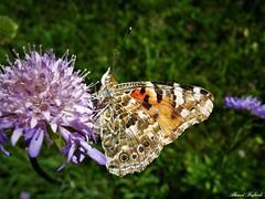 Butterfly 1917 (Vanessa cardui) (+1800000 views!) Tags: butterfly borboleta farfalla mariposa papillon schmetterling فراشة