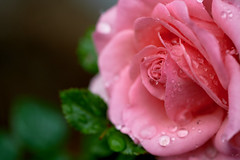 A Rose (PHOTOGRAPHYSUAT) Tags: pink rose pinkrose drops drop rain raindrops raindrop beautiful charm charming nice bright found explore nikon nikoncolors colorful deep vibrant dof bokeh