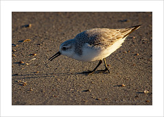 Sanderling (prendergasttony) Tags: wader nikon d7200 atlantic beach water blue feet beak jacksonville feathers nature wildlife ocean tonyprendergast elements florida america birdwatching birding border