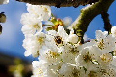 Busy Bee (perez.voecking) Tags: bee busy blossom flower cherry tree macro biene makro closeup nahaufnahme sommer summer frühling