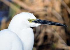 Little Egret (gillybooze (David)) Tags: ©allrightsreserved teleconverter14 600mmf4 bird littleegret birdwatcher egret outside wildlife dof outdoor bokeh reeds wadingbird wild wader eye