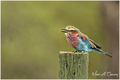 The Colourful Beauty! (Wild Pixels Safaris) Tags: thecolourfulbeauty lilacbreastedroller coraciascaudatus roller colourfulroller thebeautifulroller bird birder birdlife birdwatcher birdperfect birdsofeastafrica birdlifephotography beautifulbird colourfulbird avian plumage feathers ornithology animal wildlife africanwildlife wildafrica wildanimal wildbird wildlifephotography outdoors outofafrica nature naturephotography safari gamedrive lakenakurunationalpark greatriftvalley kenya macswildpixels wildpixelsafaris munibachaudry coraciidae coth alittlebeauty coth5 fantasticnature ngc npc