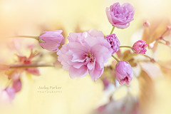 Prunus 'Kanzan' (Jacky Parker Photography) Tags: cherryblossom blossom springflowering springgarden springblossom closeup pink flowers freshness growth purity vitality selectivefocus floralart flowerphotography flora inbloom nikond750 uk