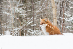 ''La pensive!'' Renarde (pascaleforest) Tags: animal nature nikon wild widlife faune québec canada renarde fox neige snow