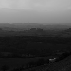 West Dorset View (M.T.A.V) Tags: hill efs1855mm england englishcountryside eggardonhill blackandwhite blackwhite bw black white westdorset dorset sheep atmosphere atmospheric monochrome moody mood field lookingatyou canon canoneos750d canon750d south southwest landscape photography photograph countryside animals square 11 crop nature overcast winter cold wind blustery gloom gloomy