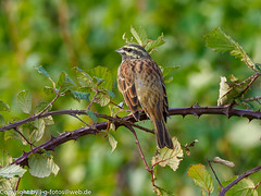 Cirl Bunting (xrxss15) Tags: algarve aljezur animalia animals aves birds buntingsnewworldsparrowsandallies cirlbunting emberizacirlus emberizidae europe portugal tiere vögel zaunammer
